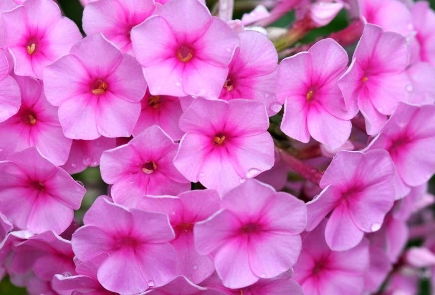 Pink with dark pink eyelet
